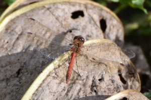 common darter crop_edited-1