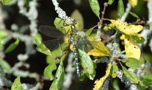 southern hawker male crop