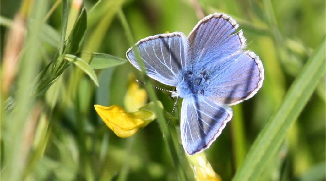 Common Blue Topside