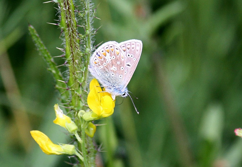 Common Blue Underside