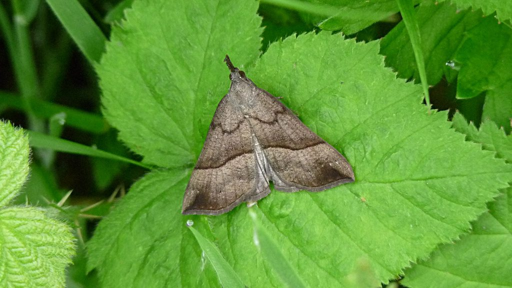Snout-moth