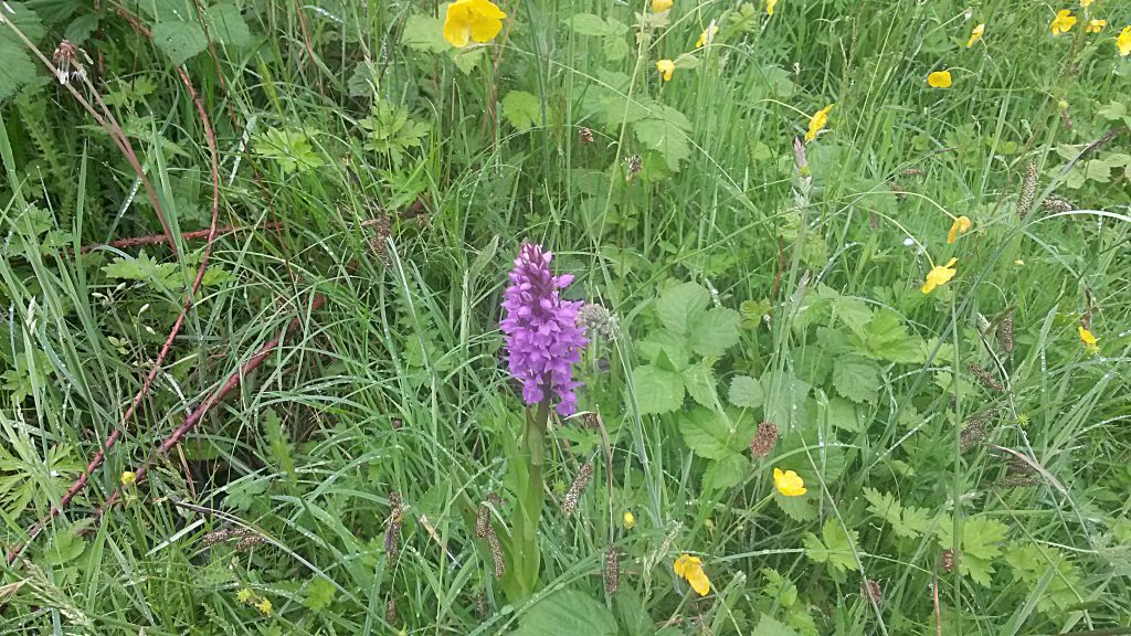 Possible Southern Marsh Orchid