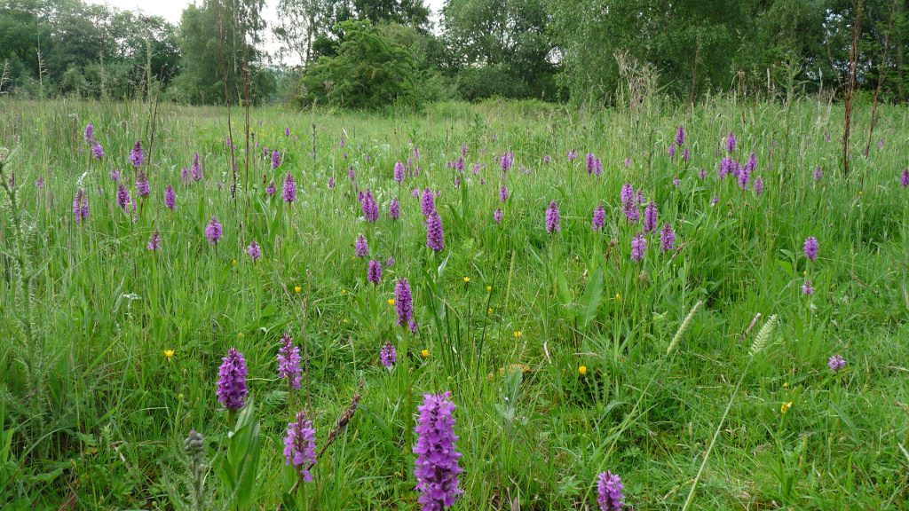 Southern Marsh and Common spotted orchids - Mid June