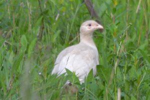 white pheasant 31_05_18 s