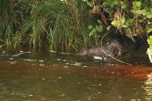 Otter eating a fish