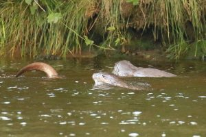 Family of otters Aug 19