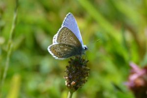 common blue low res