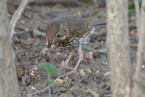 song thrush low res