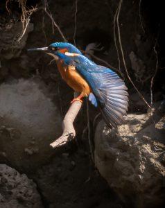 KF male wing